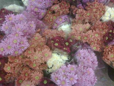 indoor english chrysanths