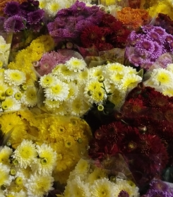 English chrysanthemums